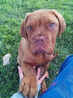 Adozione tequila dogue di 6 mesi cane dogue de bordeaux for Tequila e bonetti cane