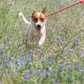 Thor, SPETTACOLARE jack russell/cattle dog