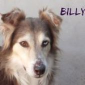 BILLY un po' Husky un po' Collie