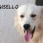 Adozioni GISELLO AMEDEO FABIAN tre fratelli Cane tipo golden retriever Maschio
