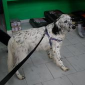 Willy splendido setter