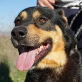 Slash, favoloso mix rottweiler in adozione