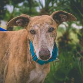DYLAN 4 ANNI GALGO SPAGNOLO