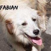FABIAN tipo Golden Retriever bello e simpatico
