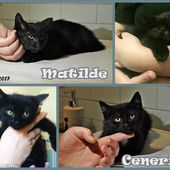 (Torino) Adozione gattine Matilde&Cenere, Protezione Micio europeo comune , Gatto Femmina