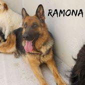 (Roma) RAMONA Pastore Tedesco bella e buona pastore tedesco , Cane Femmina
