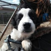 Cucciola simil border collie in regalo