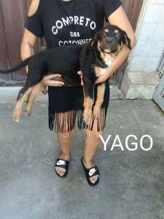 Adozione Gratuita Cuccioli Rottweiler In Regalo Cane Rottweiler Maschio