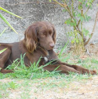 Annuncio ROCK...MIX SETTER IRLANDESE  Cane mix setter irlandese  Maschio