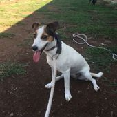 Sally, jack russell in adozione