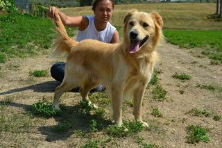 Adozione Gratuita Bobby mix golden retriever  Cane golden retriever  Maschio