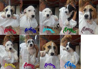 Annuncio 9 Bellissimi Cuccioli Cercano Casa Cane Meticci Maschio