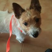 Simil jack russel in regalo
