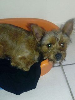 Adozione Gratuita DOLLY, 5 MESI INCROCIO YORKSHIRE Cane incrocio yorkshire Femmina