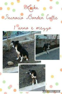 Adozione Laika incrocio Border Collie Cane incrocio border collie Femmina