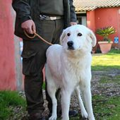 Alina dolcissima simil golden retriever