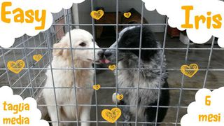 Adotta cucciolone in canile Cane simil bordercollie golden retr Femmina