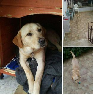 Annuncio Magic Cane labrador Femmina Vicenza
