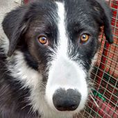 HEIDY mix Border Collie di 1 anno