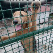 Margot mix airedale cucciola in canile