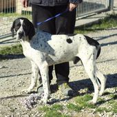 jago, bracco pointer