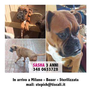 Adozione SASHA BUONA CON CANI E PERSONE Cane Boxer Femmina Milano