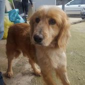 Carmelo 7 anni cerca casa - mix golden retriever