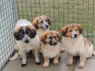 Come Adottare 4 Cuccioli Pelosi Cane Meticcio Maschio