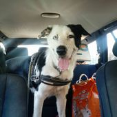 CHERY SIMIL BORDER COLLIE