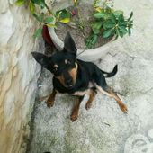 Balto incrocio PINSCHER cerca casa