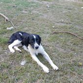 ERMES: CUCCIOLONE MIX BORDER COLLIE