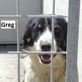 GREG – simil border collie