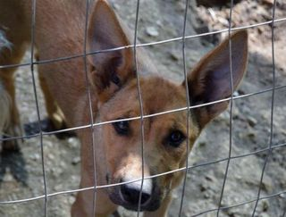 Annuncio Parabola: simpatica cucciola derivato Pastore Tede Cane derivato pastore tedesco Femmina