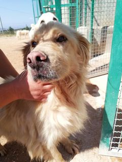 Adozioni Tyson, simil Golden Retriever in canile Cane meticcio/simil golden retriver Maschio