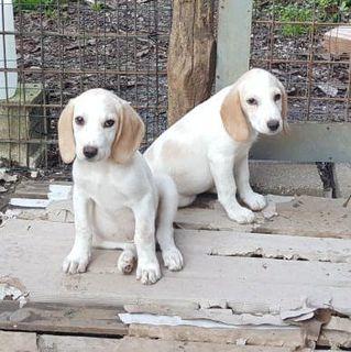 Adozione Gratuita Splendidi Cuccioli Mix Beagle Cane Meticci Maschio