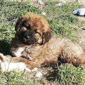 Cucciole di pastore del caucaso