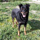 Cani Rottweiler Adozioni Gratuite Annunci Da Canili Ed Associazioni