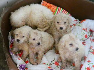"""Adozione Gratuita 5 cuccioloni """"magici"""" in cerca di casa Cane pastore maremmano Maschio"""