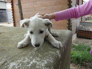 Annuncio ALAN, derivato labrador  in adozione Cane derivato labrador Maschio