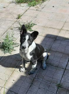 Adotta Laila Cane mini border collie  Femmina