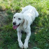 SETTER INGLESE ORANGE BELTON, FULL