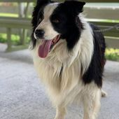 Montù, splendido border collie