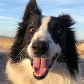 MICHI border collie