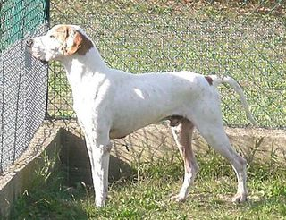 Come adottare OMBRONE Cane pointer Maschio Siena