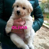 Cuccioli simil labrador, lupetti e golden retrieve