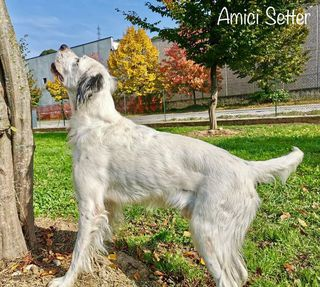 Come adottare SETTER INGLESE TRICOLOR, NATHAN Cane setter inglese Maschio