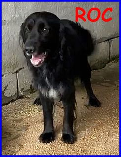 Adozione Roc bellissimo simil flat coated retriever Cane flat coated retriever  Maschio