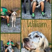 WILLIAM DETTO WILLY SETTER INGLESE TRICOLOR