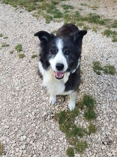 Come adottare Dolly, border collie di 10 anni cerca casa Cane border collie Femmina