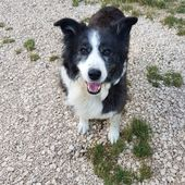 Dolly, border collie di 10 anni cerca casa